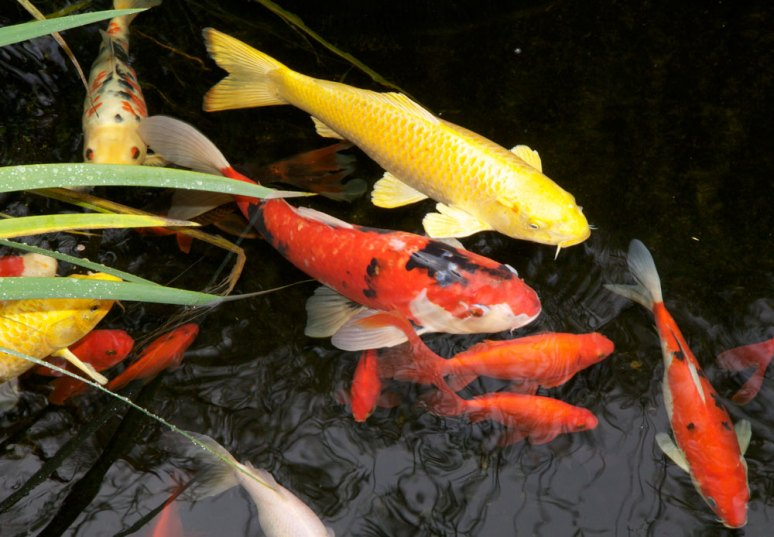 Koi and gold fish