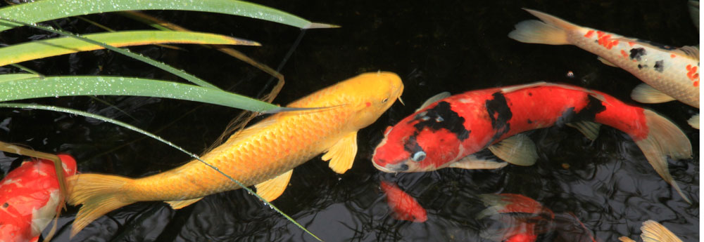 Koi and gold fish